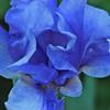 Blue Baby Iris