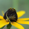 Rudbeckia with crab spider and bee