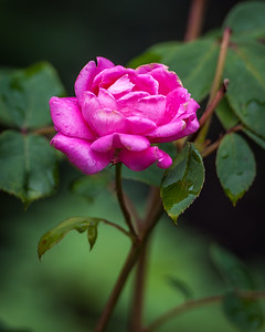 Rose Perfection