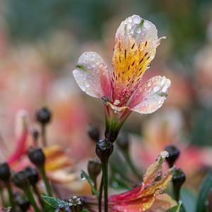 Peruvian Lily - Bali