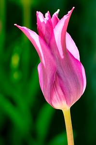 Tulip Delicacy