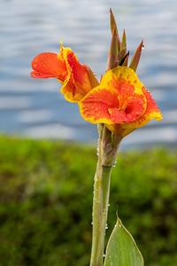 Canna Lily - Bali