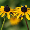 Rudbeckia with a Japanese Beetle, housefly and inchworm