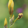 Yellow Iris Buds