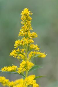 Canada Goldenrod (Solidago canadensis)
