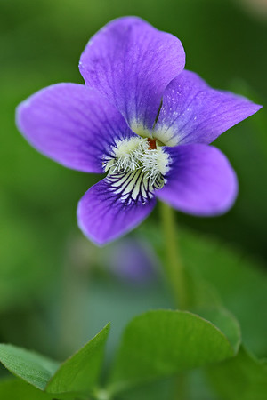 Common Wood Violet