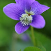 Common Wood Violet