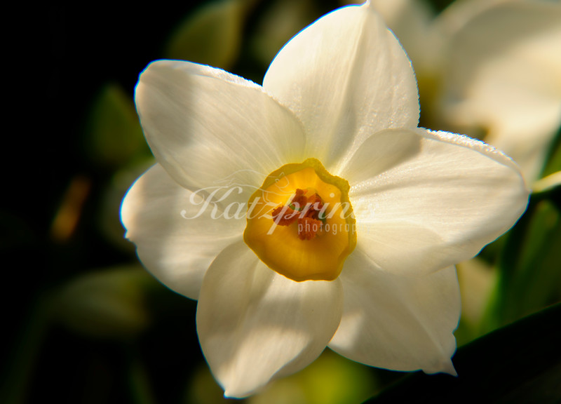 Narcissus flower with little dew drops