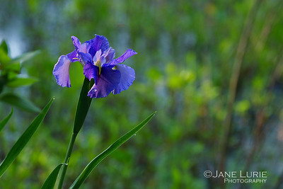 Purple Iris in the Sun