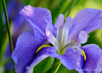 The glorious color and shape of a purple Iris.