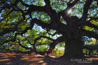 Angel Oak, Johns Island, SC. Over 1500 years old. A Charleston area landmark.