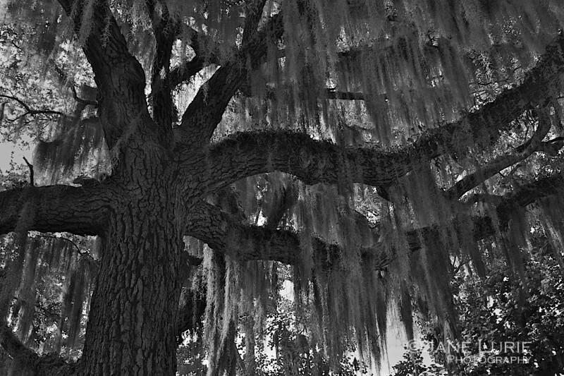 Live Oak and Spanish Moss... a classic southern scene.