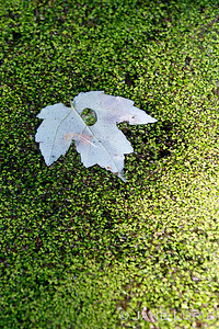 Floating Leaf and Duckweed. I especially liked the magnified duckweed in the water droplet.