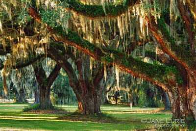 Live Oaks and Spanish Moss, Ace Basin