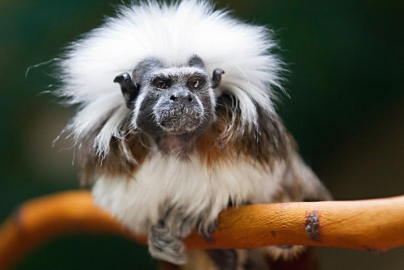 Cotton-headed Tamarin