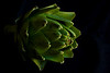 Artichoke<br /> All photographs are printed on high quality, professional Kodak metallic paper, unmatted, and shipped to you unframed so that you may choose your own matting and framing materials. <br /> The following sizes are available unmatted:<br /> Unmatted prices:<br /> 8 x 10  $35<br /> 11 x 14  $50<br /> 16 x 20  $75<br /> 20 x 24  $100