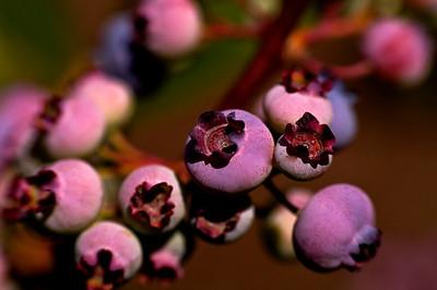 High Bush Maine Blueberries