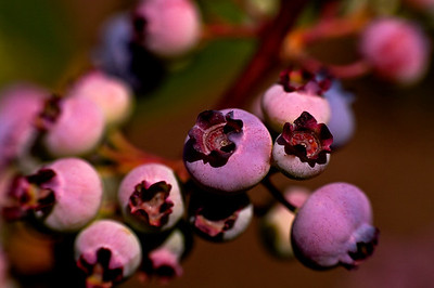 High Bush Maine Blueberries