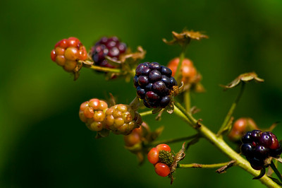 Wild Maine Blackberries