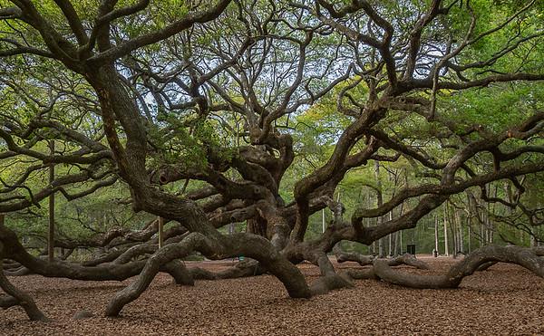 Angel Tree, Charleston, South Carolina