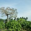 A giant! Baobab tree?