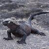 Marine iguana on Isla Fernandina