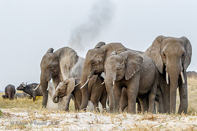 Elephants dusting their skin