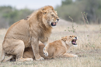 Lions separating after mating