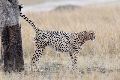 Cheetah marking territory
