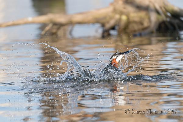 Giant Kingfisher - Surfacing