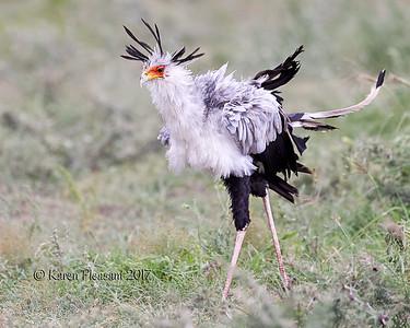 Secretarybird