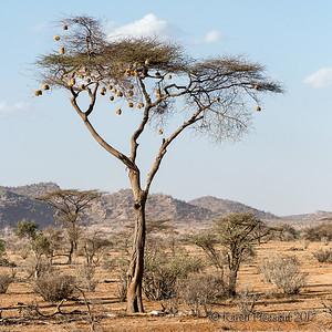 Weaver nests in tree