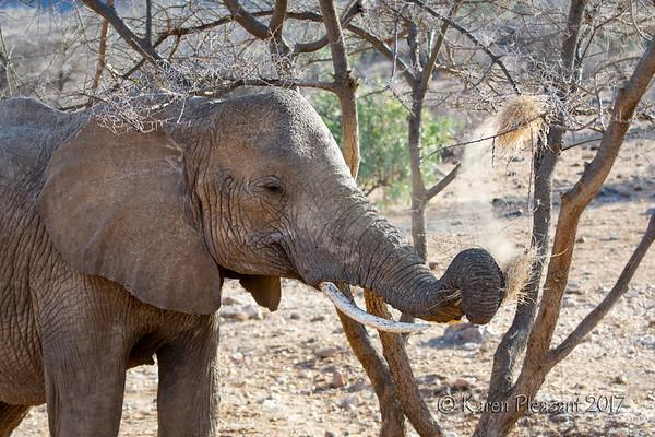 Elephant eating weaver nest