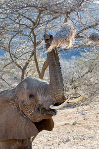 Elephant eating nest