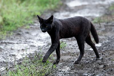 Melanistic serval (Black serval)