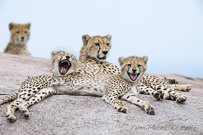 Momma with 3 of her 5 cubs
