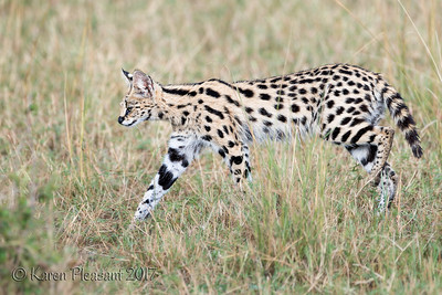 Typical serval coloration