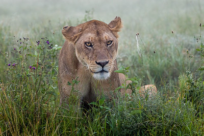 Lioness on foggy morning