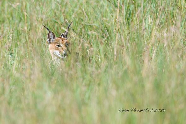 Caracal in deep grass...