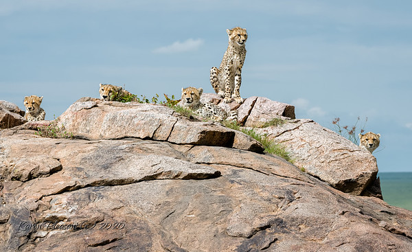 Momma with 4 of her 5 cubs