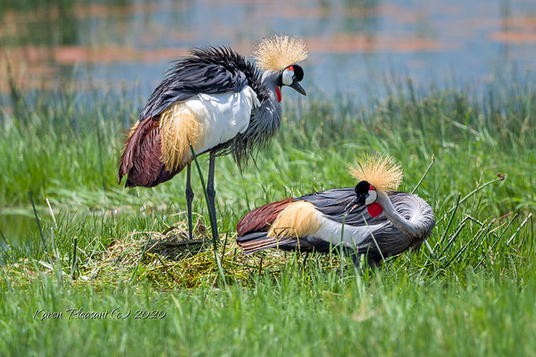 African cranes working on a nest