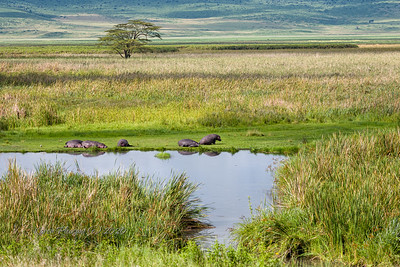 Hippos by small pond