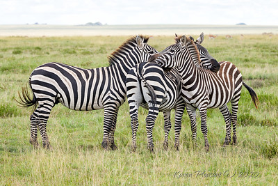 zebras following migration