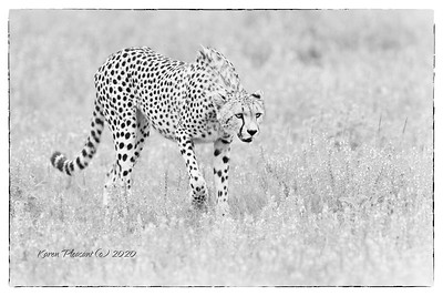Cheetah stalking...