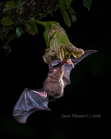 Pallas's long tongued bat