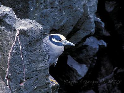 Lava Heron