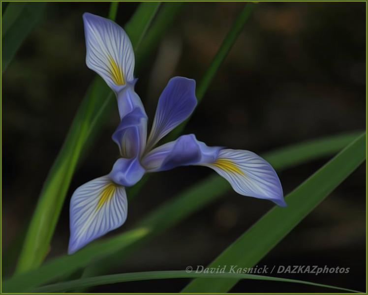 Blue Flag Iris - Pentwater, MI