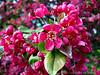 Flowering Crab 2 - Backyard Garden