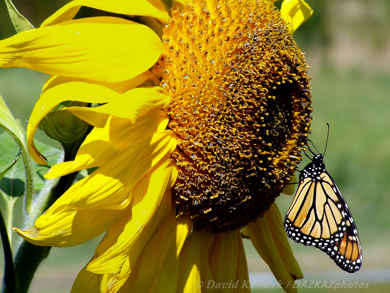 Sunflower Monarch - Portland, ME