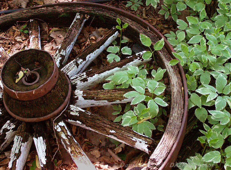 Bishop's Weed with Wagon Wheel - Backyard Garden